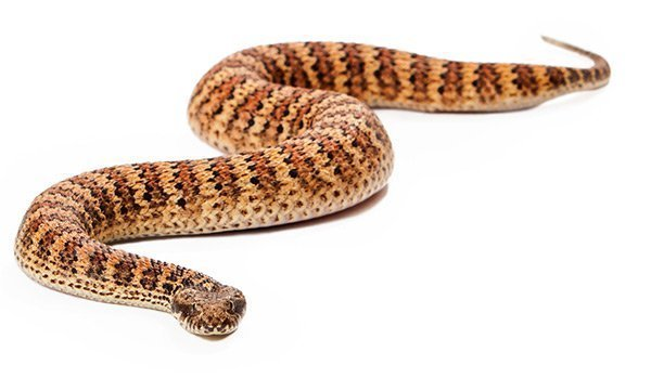 Common Death Adder Australia Dog Bite